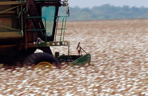 Large harvesting machines collect the ripe cotton. Getty Images