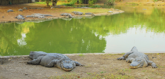 Crocodiles in a crocodile farm. ©iStock