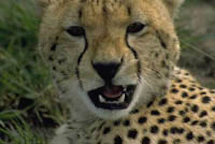 Cheetahs have two lines running down each side of the face. ©Getty Images
