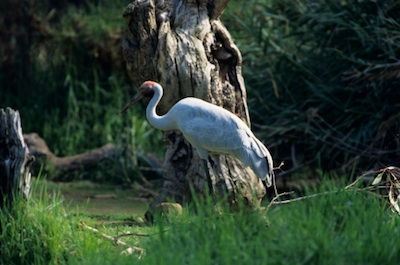 Brolga © Getty Images