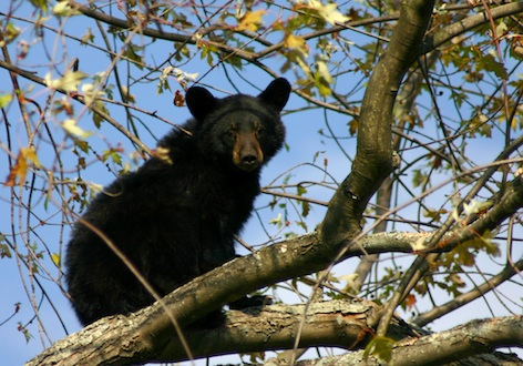Black bears will climb trees to get honey. © Getty images
