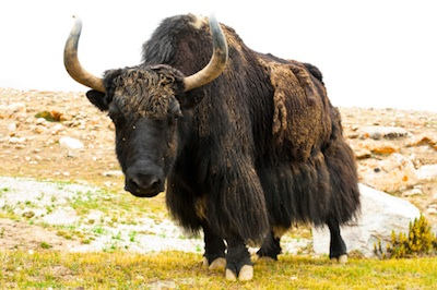 Yaks are ruminants.  i Photo©Getty Images