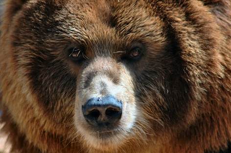 Kodiak bear ©Getty Images