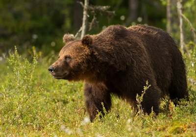 Brown bears have a characteristic shoulder hump. ©Getty Images