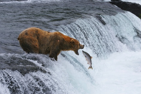 Brown bear catching a leaping salmon. ©Getty Images