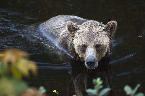 Grizzly bear ©Getty Images