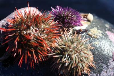 Sea urchins. ©Getty Images