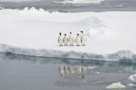 Emperor penguins ©Getty Images