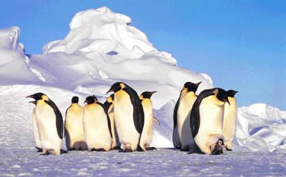 Emperor penguins. The largest of the Antarctic penguins. © Getty Images
