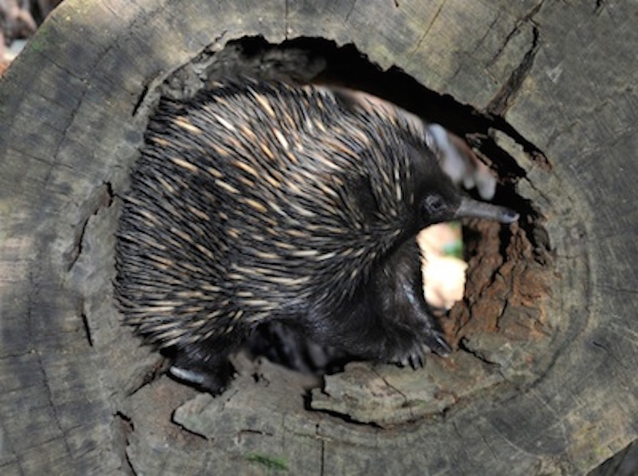 An echidna in a hollow log ©Getty Images