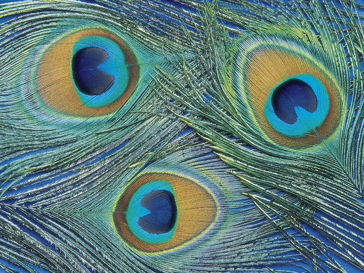 Tail feathers of a peacock. The peahen is brown. ©Getty Images