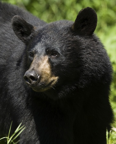 Asiatic black bears are endangered ©Getty Images