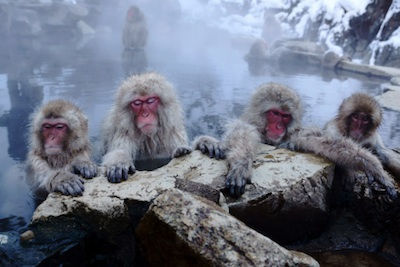 In Japan, even monkeys living in the mountains thaw off in hot springs. ©Getty Images