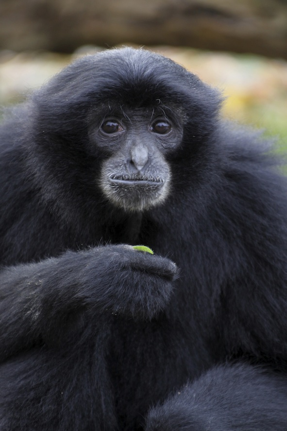 The siamang is the largest of the gibbons. © Getty Images