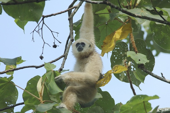 A rare white-handed gibbon in Thailand. © Getty Images