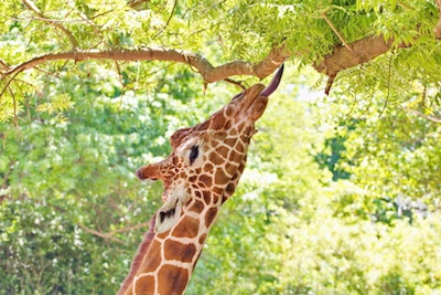 A giraffe has a long tongue to help reach leaves. ©Getty Images