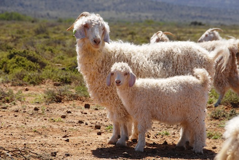 Angora goats have long curly fur ©Getty Images