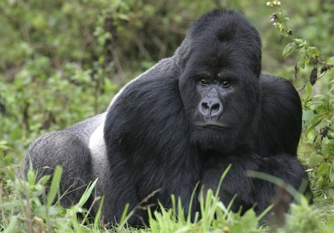 Mountain gorilla silverback ©Getty Images