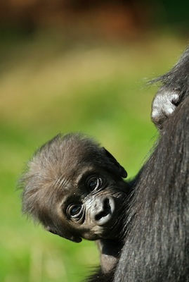 A baby gorilla stays close to its mother ©Getty Images