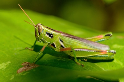 Their colour helps grasshoppers hide from enemies. ©Getty Images