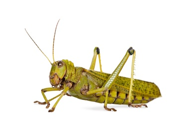 Locust ©Getty Images