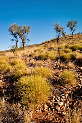 spinifex grassland, central Australia ©Getty Images