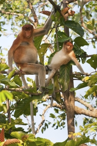 Islands are the home to many rare animal species. these are proboscis monkeys on Borneo ©Getty Images