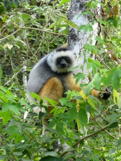 This lemur is one of many sepcies of lemur that live on Madagascar © kidcyber image