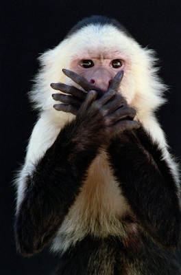 A capuchin monkey. ©Getty Images