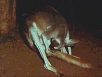 A female kangaroo preparing to give birth. In that position, the tiny joey is born onto the tail.
