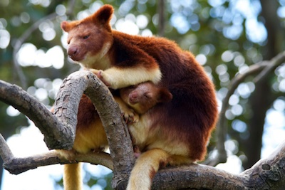Goodfellow's tree kangaroo with young. ©Getty Images