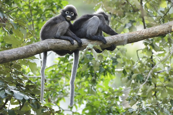 A pair of spectacled langurs in Thailand ©Getty Images