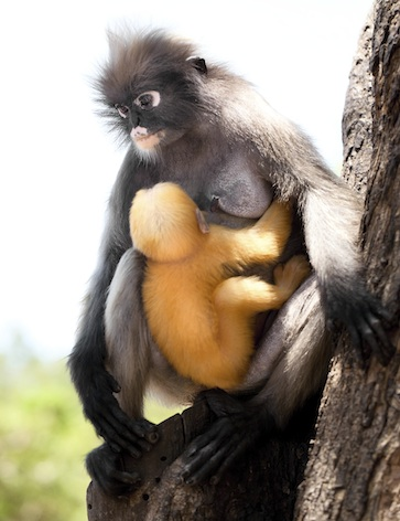 Many kinds of langur babies are apricot coloured for the first weeks. ©Getty Images