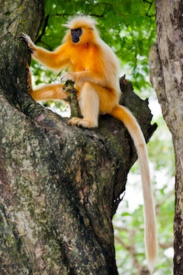 Golden langur ©Getty Images