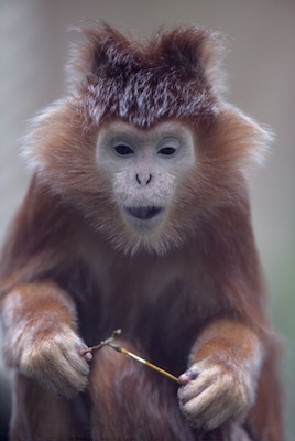 Silvered leaf langur ©Getty Images