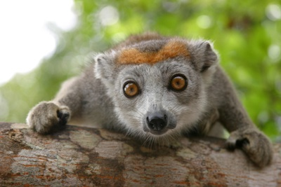 Crowned lemur. ©Getty Images
