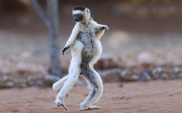 A verreaux sifaka lemur dancing along the ground. ©Getty Images