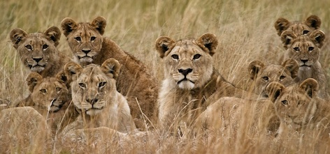 Females with cubs ©Getty Images