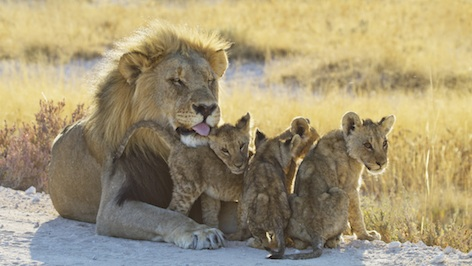 Male lion and cubs ©Getty Images