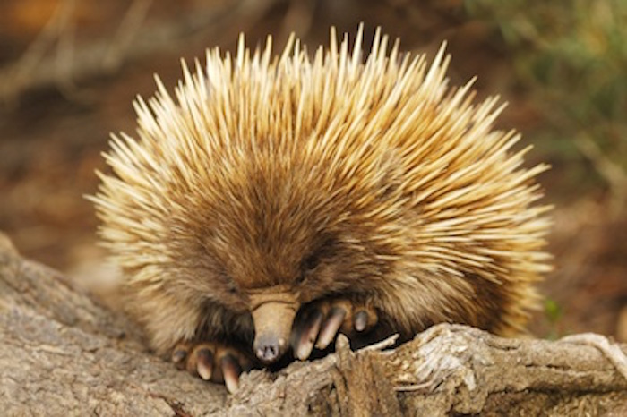An echidna looking for food. ©Getty Images