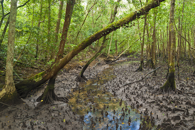 Mangrove swamp, Daintree Rainforest, Far North Queensland. Photo©Getty Images