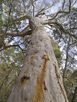 A huge old eucalypt ©Getty Images