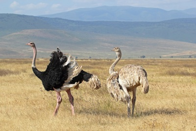 Male and female ostrich. ©Getty Images