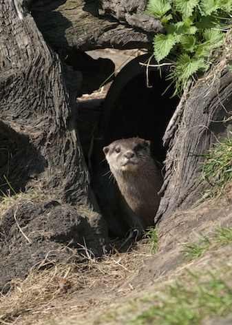 Asian short-clawed otter at entrance of its holt ©Getty Images