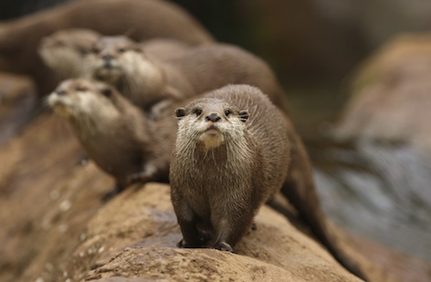 Asian small-clawed otters ©Getty images