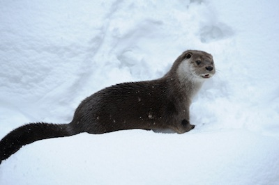 A European otter ©Getty Images