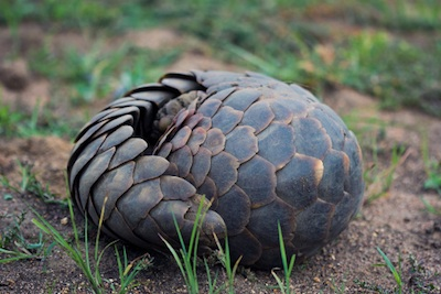 When threatened, pangolins curl up. ©Getty Images