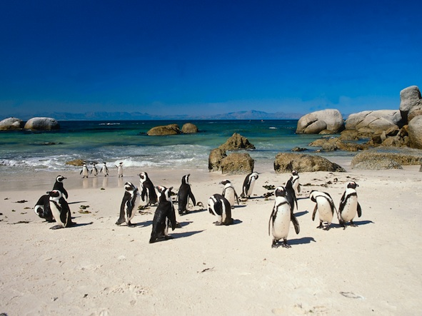 African penguins coming ashore on a beach. ©Getty Images