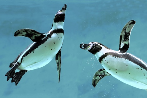 Humboldt penguins ©Getty Images