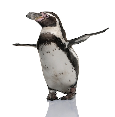 Humboldt penguin ©Getty Images